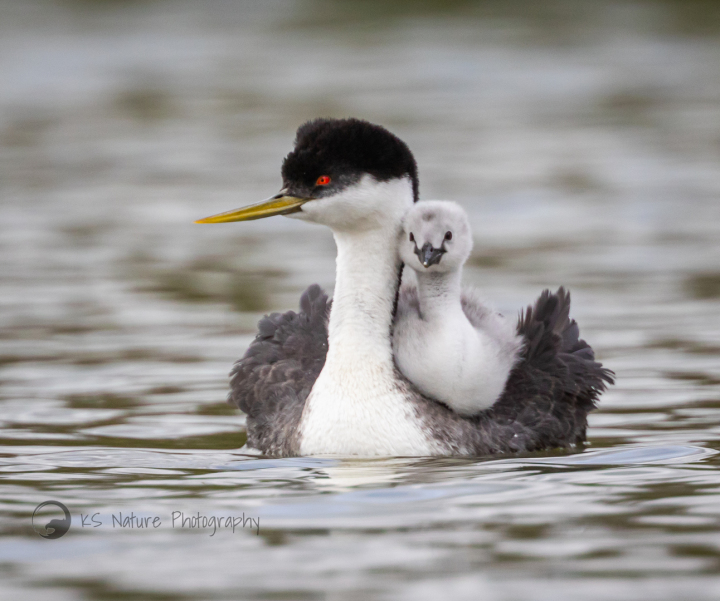 Western Grebe with chick - photo by @KS Nature Photography